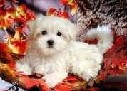 Super cute malteses cachorros disponibles