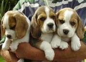 Impresionante ckc registrados beagle cachorros