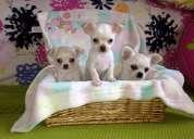 Chihuahua cachorros saludable