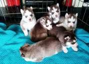 Gorgeous cachorros husky siberiano