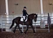 caballo frisón increíble y lleno de energía