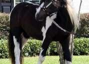 100% raza pura caballos de vanner gitano.