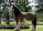 9yrs viejo hermoso caballo gitano con pedigrí para su aprobación.