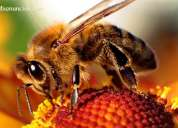 Compro abejas obreras en excelentes condiciones