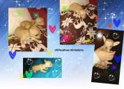 Ultimo cachorro chihuahua miniatura