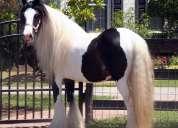 Típica castrado caballo gypsy vanner