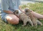 Regalo saludables super lindo cachorros de bulldog inglés para su