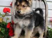 De calidad superior kc perrito del pastor alemán disponible
