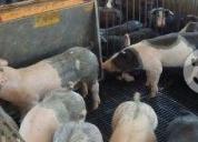 Excelente granja porcicola