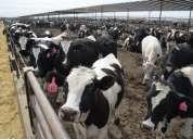 Vacas de leche y carne angus disponibles