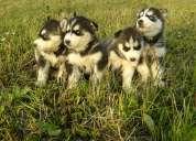 Ofresco preciosos cachorritos siberian husky puros
