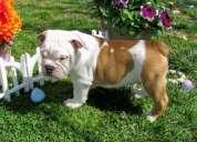 Adorables cachorros bulldog inglés para su aprobación
