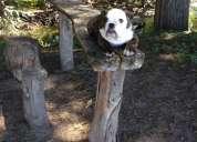 Hermosos cachorros bulldog ingles!