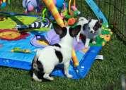 Akc chihuahua cachorro amigable para su adopción