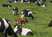 Holstein y jersey / vacas vacas preñadas disponibles para la venta
