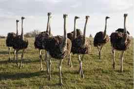 Avestruz, Emu huevos huevos nandus y sus polluelos