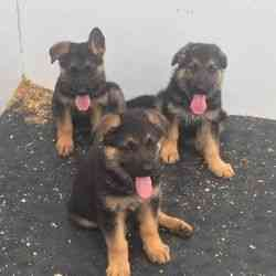 Hermoso cachorros de pastor alemán Kc registrado