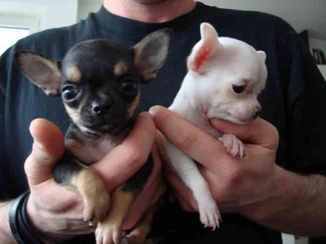 Cachorros Chihiahia en casa para rehoming