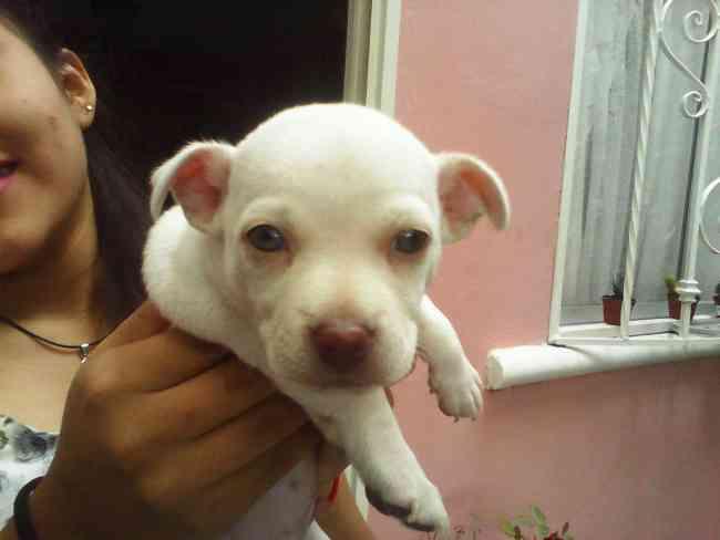 Vendo cachorro chihuahua blanco cabeza de manzana barato