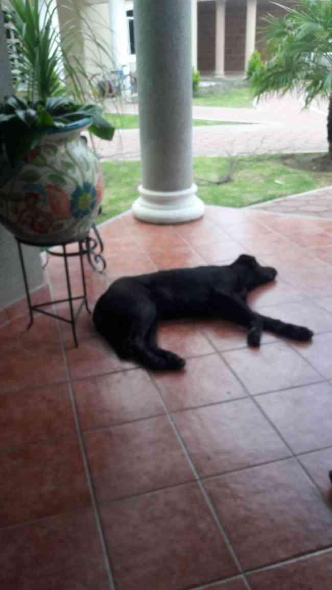 Busco perro negro labrador