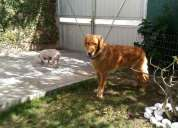 Golden retriever encontrado
