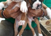 Vendo cachorros boxer hermosos