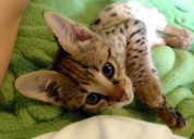 Serval y gatitos de la sabana para la adopción.