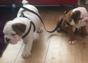 Impresionante show calidad kc inglés bulldog cachorros