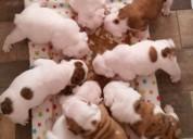 Regalo impresionante show calidad kc inglés bulldog cachorros