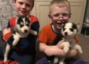 Kc siberianos observado azul huskies cachorros