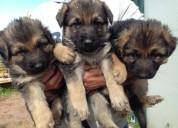 Tres cachorros de pastor alemán hermoso para la venta