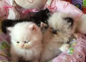 Gatitos persa para adopcion