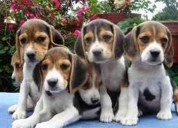 Beagle audaces cachorritos