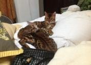 Gatitos bonitos de bengal