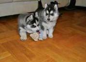 Regalo siberian husky cachorros para adopcion