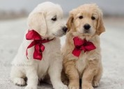 Cachorros de golden retriever
