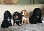 Cria de cachorros cocker spaniel