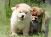 Chow chow, cachorros de pura raza!
