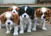 Preciosos cachorritos cabalier