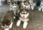 cachorros de alasca malamute