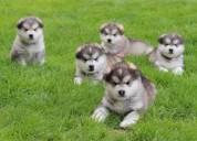 Cachorros de alaskan malamuten