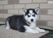 3 cachorros huskies en adopcion