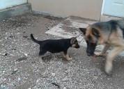 Cachorra pastor alemÁn