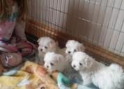 Magníficos y entrenados maltés cachorros para su aprobación