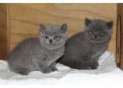 Se regalan gatitos britanico de pelo corto