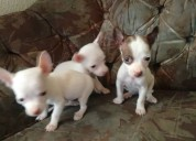 Se venden chihuahuitas minitoy ..!