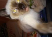 Gatitos siames chiquitos
