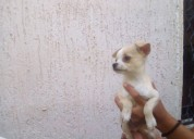 Chihuahuas en venta