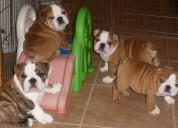 Regalo cachorros de bulldog inglés