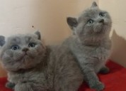 Gatitos british shorthair azul disponibles